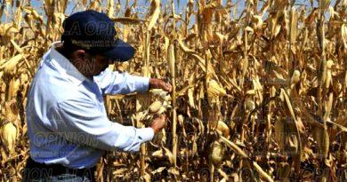 Hoja de maíz