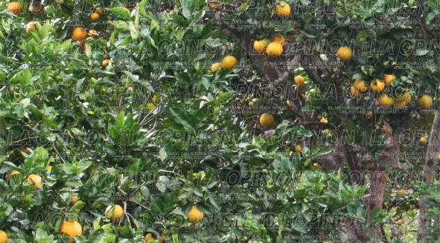 baja-produccion-de-citricos