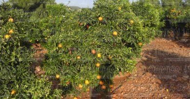 danos-a-citricos-por-cambio-climatico
