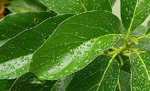 aguacate-hojas
