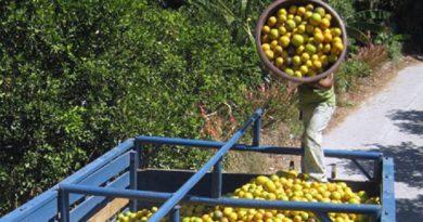 citricos-de-tuxpan-no-pueden-ser-exportados