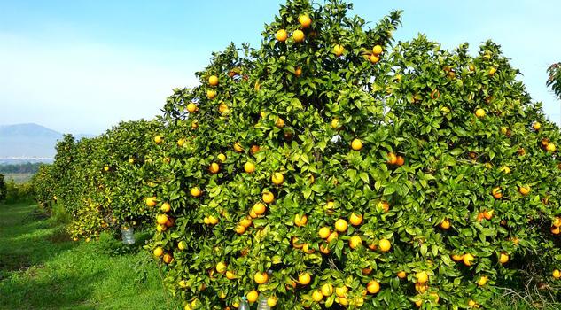 cae-la-produccion-de-citricos
