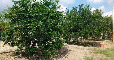 citricos-produccionn-plaga-grave