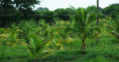 plantios-de-coco-peligran-por-plaga