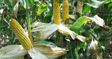 si-se-cultiva-maiz-transgenico-en-el-estado