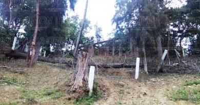 Cae pino calle Lucio Blanco de la Revolución1