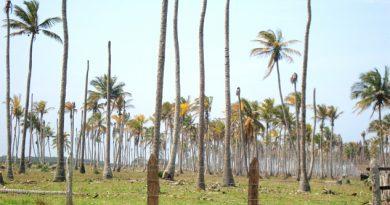 Plaga acabó con casi 12 mil hectáreas de coco