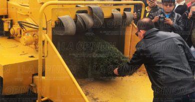 Escasa recolección de pinos