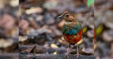 Pájaro Doce Especies