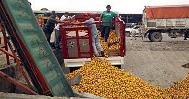 Sin coyotaje, productores venden a 2200 la tonelada
