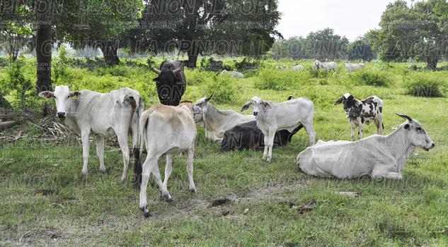 No repunta precio del ganado bovino