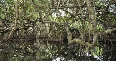 Reportan tala de manglares