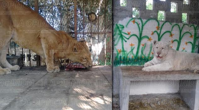 Unidad de Manejo Ambiental de Vida Silvestre resguardará a dos felinos