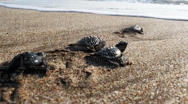 Vigilarán desove de tortugas
