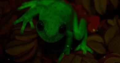Hallan la primera rana fluorescente