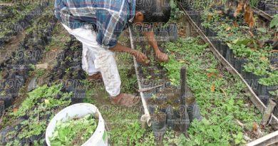 Mejoran producción de pimienta