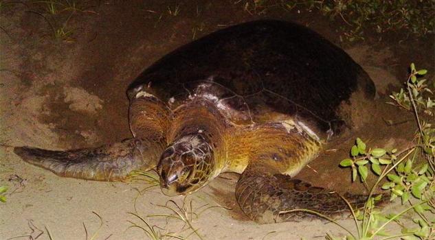 Preparados para el desove de tortugas