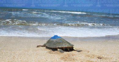 Saquean nidos de tortugas