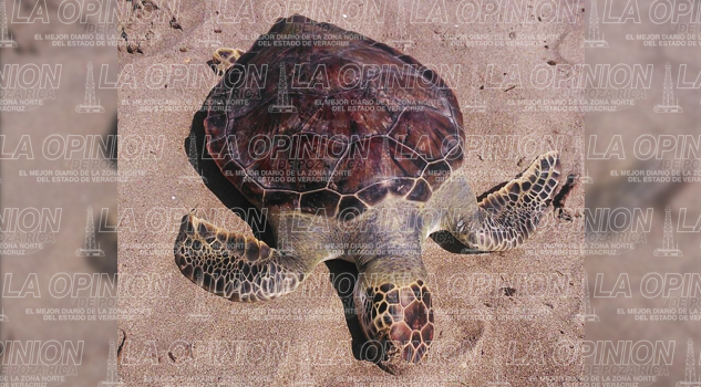 Aparecen dos tortugas muertas en la playa