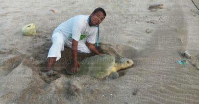 Espectación por el desove de tortugas