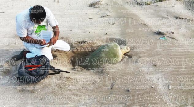 Registran veinte nidos de tortuga Lora en Chaparrarles