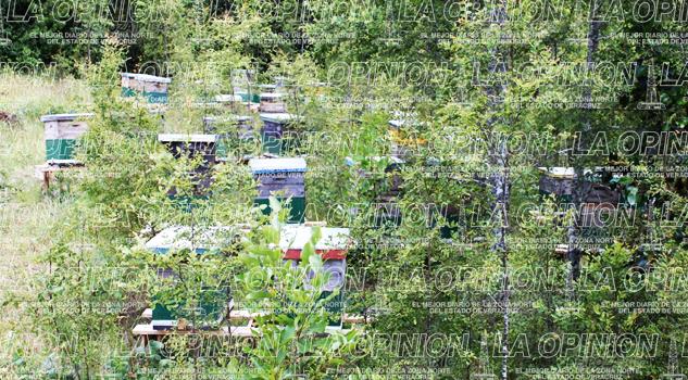 Se pierde producción de miel en zona norte