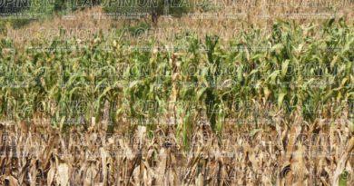 Escasa producción de maíz