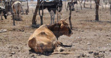 Sequía golpea a ganaderos