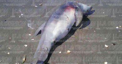 Aparece delfín muerto en las playas de Papantla