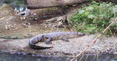 Aparecen más lagartos en el arroyo Cocineros