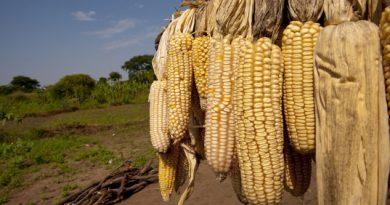 Baja el precio del maíz