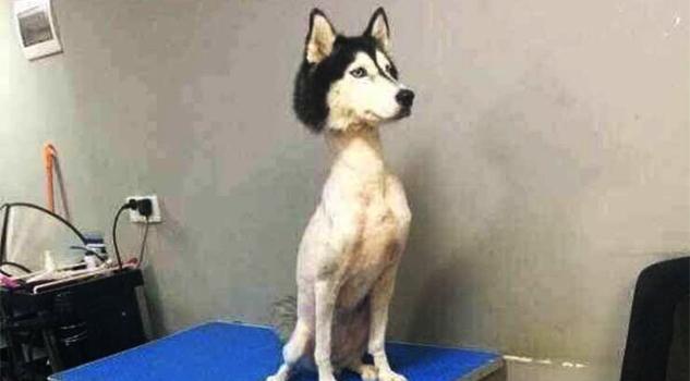 Indignación en internet por husky siberiano rapado