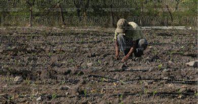 Productores sin sembrar maíz