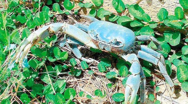 Anuncian campaña de protección a cangrejo azul
