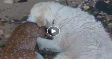 El perro que salvó a un pequeño venado de morir ahogado