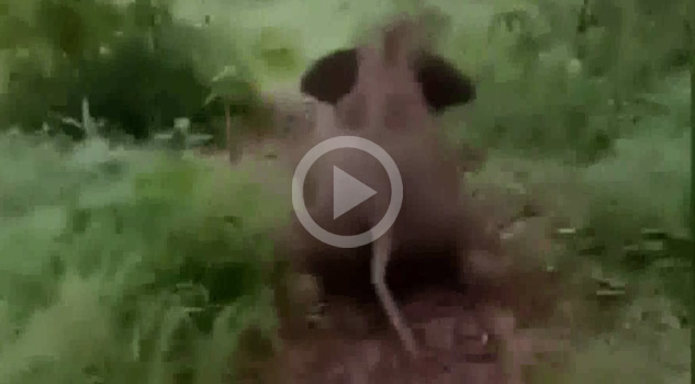 Elefantita Aventada