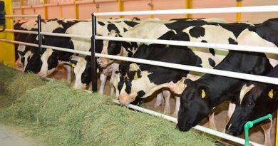 Qatar Importa Vacas