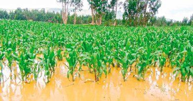 Se dañan 20% de cultivos de maíz, frijol y legumbres
