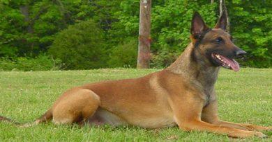 nombres para perros pastor belga