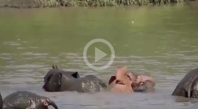 Los elefantes rosa… ¡EXISTEN!