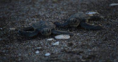 Hay casi 2 mil nidos de tortugas