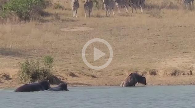 Increíble Hipopotamos Ñu Cocodrilo