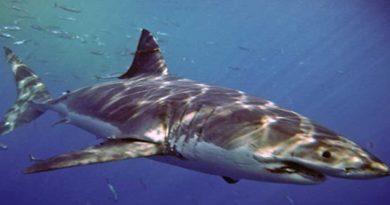 tiburón blanco en BC