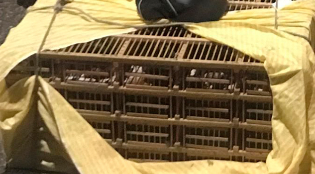 Asegura Policía Federal 70 aves en Tihuatlán