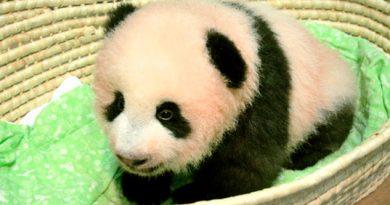 Bautizan Cría Panda Japón Xiang Xiang