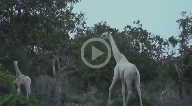 Jirafas Blancas Descubiertas Kenia