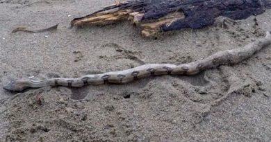 Serpientes Venenosas Costas Coatzacoalcos