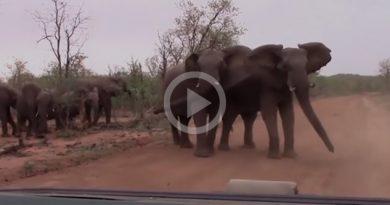 Elefantes Asustan Turístas