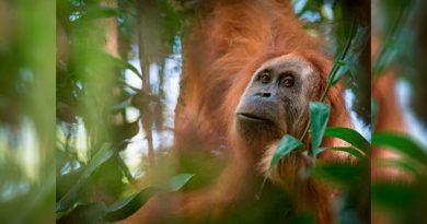 Identifican Nueva Especie Orangután Peligro Extinción