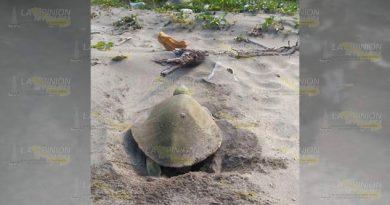 Redujo Depredación Tortugas